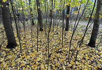 Новгородские спасатели отыскали женщину, заблудившуюся в лесу (ВИДЕО)