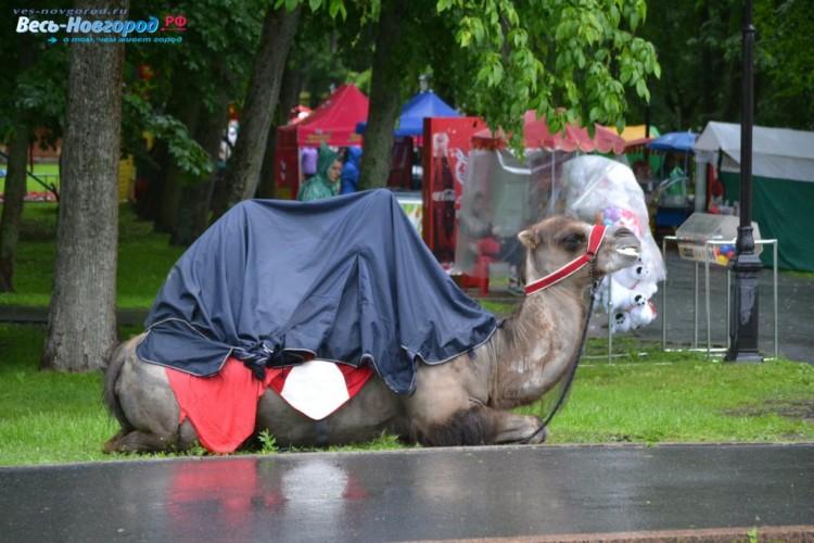 Верблюд в чехле от дождя